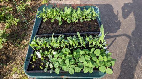 育苗床で育てた「枝豆」「トウモロコシ」「大根」を畑に植えてみた!