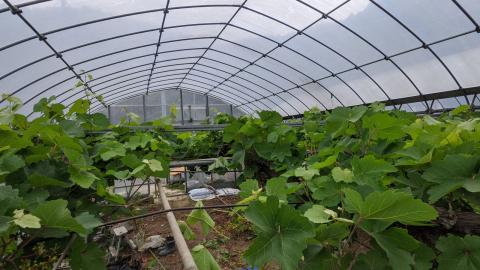 2021年5月16日の園芸雑記<ブドウの剪定・メチャ増えワイルドストロベリー!>